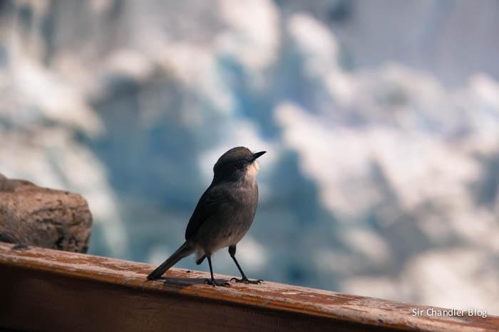 glaciar-perito-moreno-aves