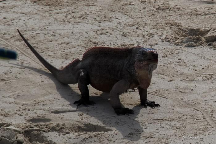 4-iguana-bahamas