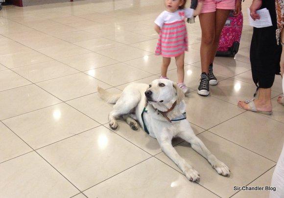 Perro chileno buscando drogas en el aeropuerto muy relajadamente