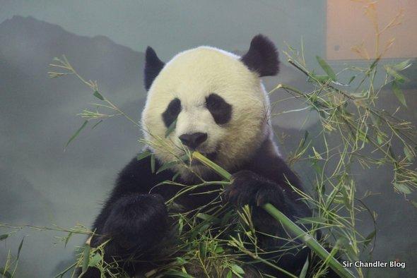oso-panda-washington