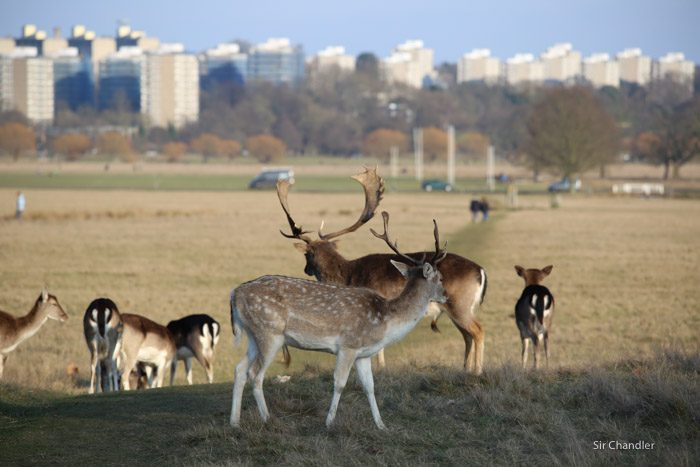 richmond-park-londres-8944